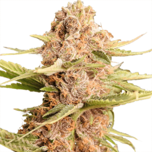 Girl Scout Cookies Extreme (Feminized)