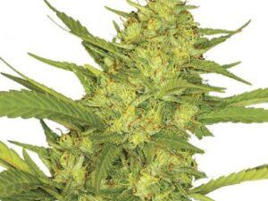 Buy OG Kush Auto cannabis seeds
