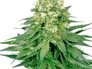 Buy Autoflower White Widow Seeds Online